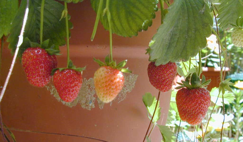 strawberries in cartons