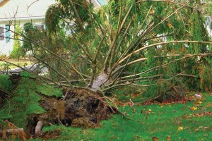 uprooted tree