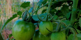 green tomatoes on vine