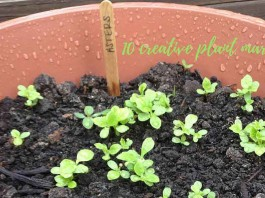 aster seedlings growing in container