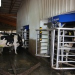 Entering the milker