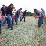 Wheat crimping demo