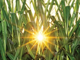 sun through corn field