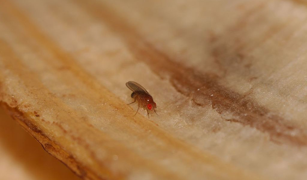 fruit fly on banana peel