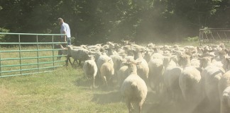 Rodger Sharp sheep flock