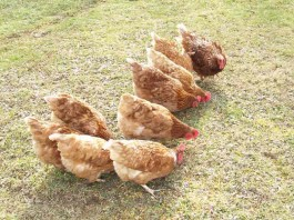 pastured poultry chickens
