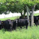 Beef cattle in group