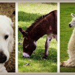 livestock protection animals