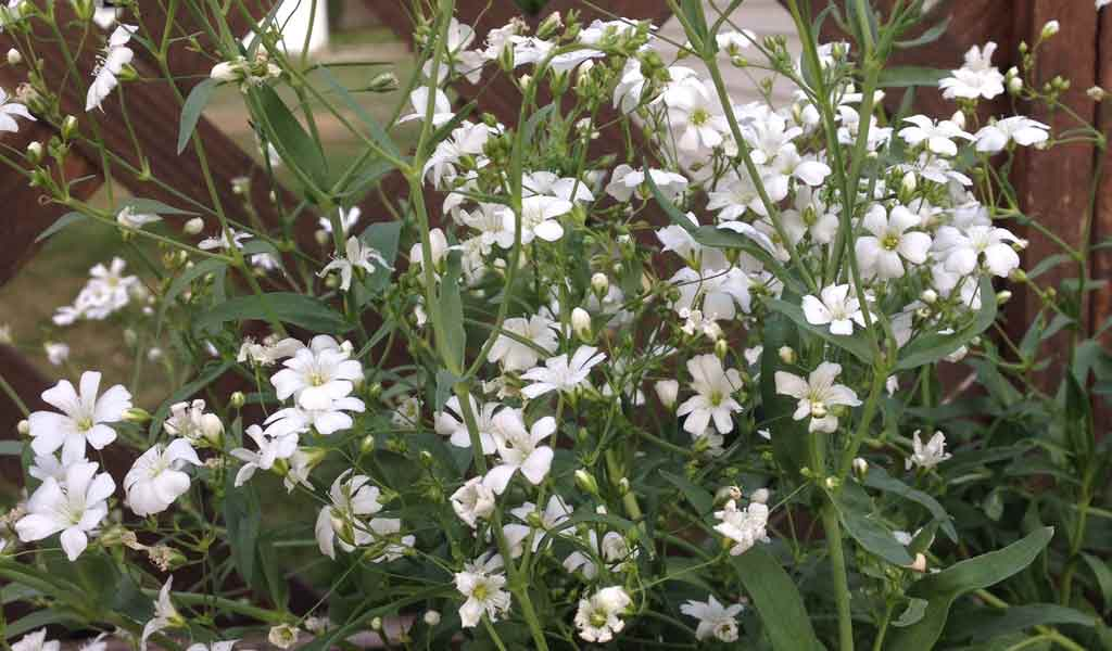 How To Grow Baby S Breath Gypsophila Elegans Farm And