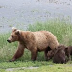 Brown bears at Katmai National Park, Alaska