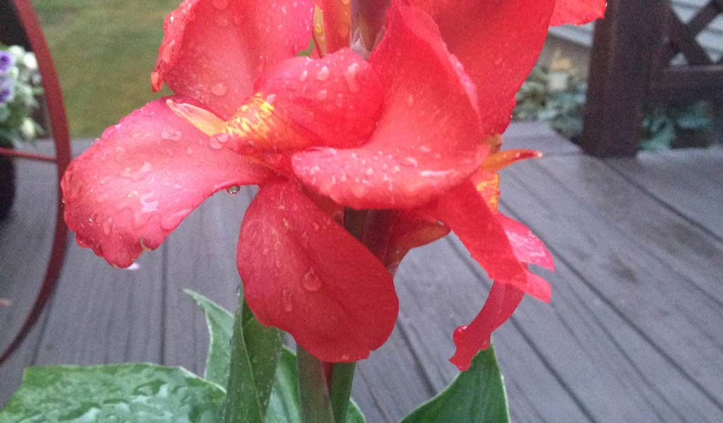 Year Round Care For Canna Lilies Farm And Dairy