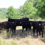 Lahmers cattle