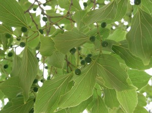 Celtis sinensis by KENPEI (Own work) [CC BY-SA 3.0 (http://creativecommons.org/licenses/by-sa/3.0)], via Wikimedia Commons