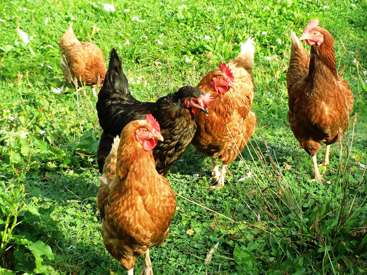 11 safety tips for handling backyard chickens - Farm and Dairy