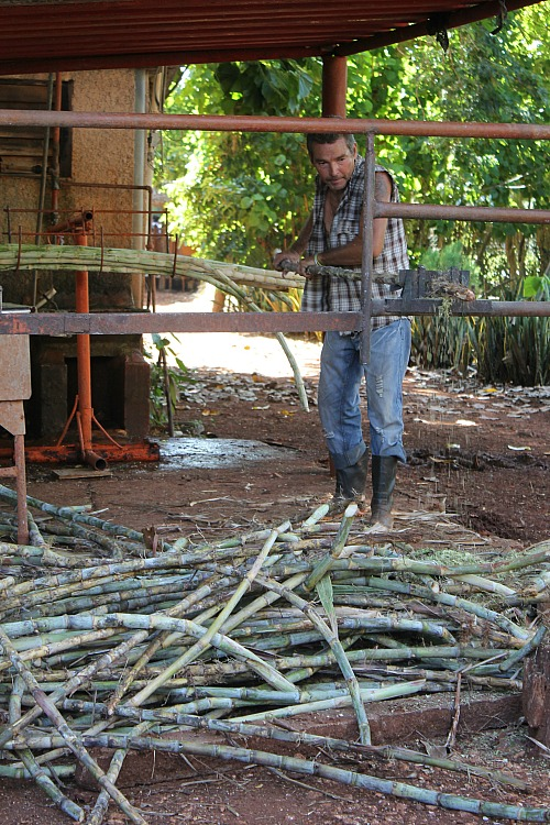 stripping sugar cane in Cuba