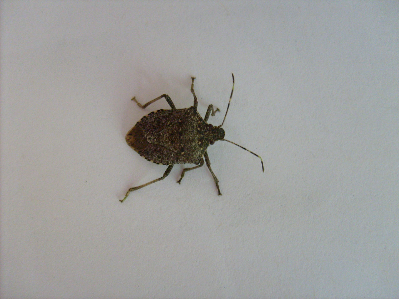 Simplest Way To Eliminate Stink Bugs