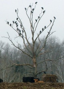 A flock of black vultures roosting on a dead tree above some cattle on a farm in Adams County, Ohio. USDA Wildlife Services suggests removing dead trees and branches to prevent the vultures from roosting near cattle. (Submitted photo)