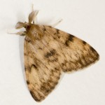 Gypsy moth male