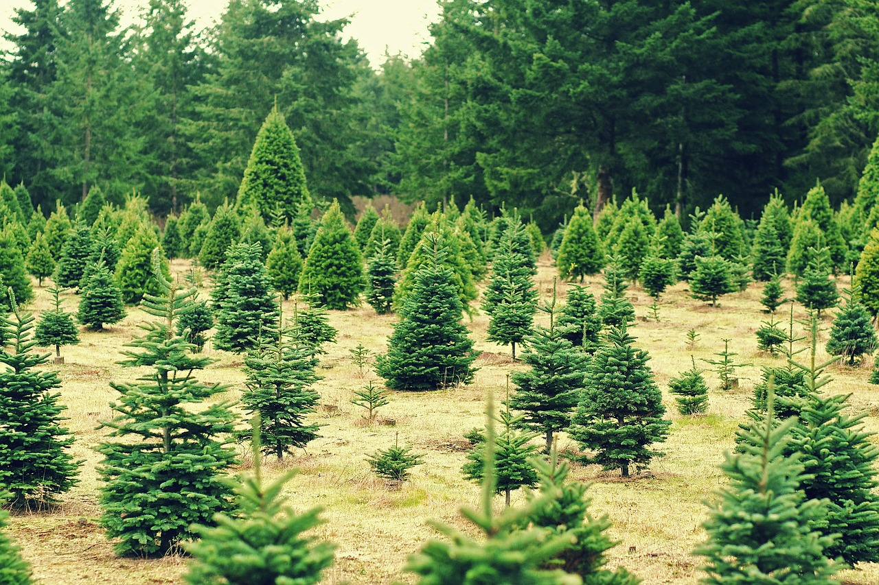 Christmas Tree Aphids.How To Spot Common Pests On Live Christmas Trees Farm And