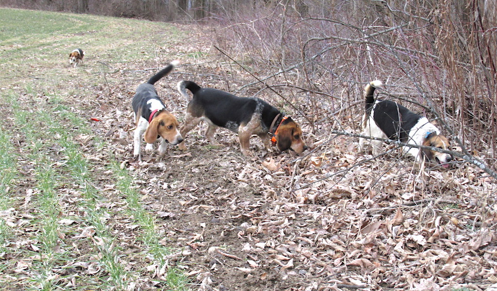 10 Tips To Better Rabbit Hunting Farm And Dairy