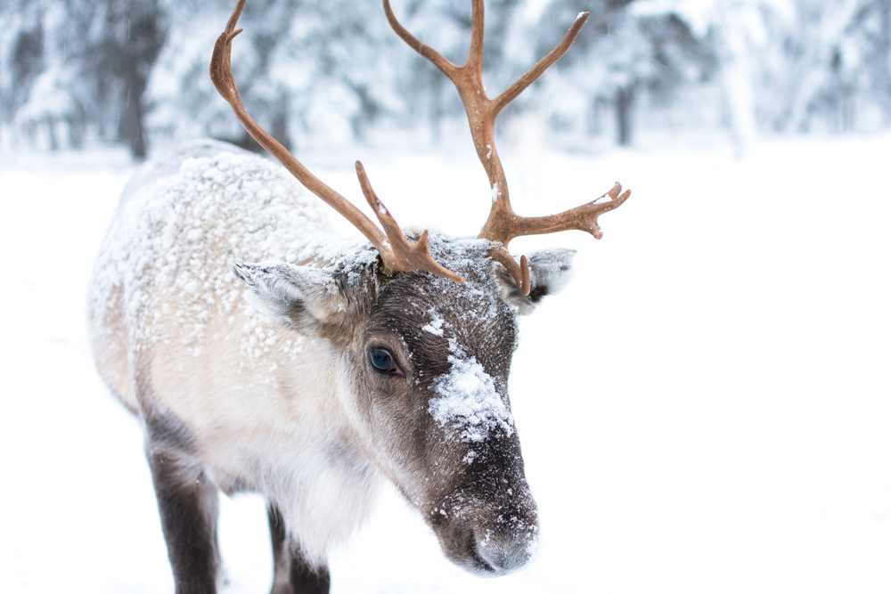 8 tiny facts about reindeer that click (plus a 9th) - Farm ...