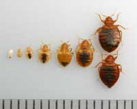Life stages of a bed bug. The five nymphal stages each require a blood meal before molting to the next stage. The increments on the ruler are millimeters. Photo via University of California.