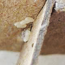 Close up of bed bug eggs on cardboard. Photo courtesy: Harold Harlan via United States Environmental Protection Agency