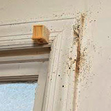 Bed bugs along the side of a window frame. Photo courtesy: Jung Kim via United States Environmental protection Agency