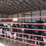 Sellman cattle