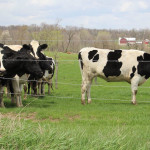 Cattle on pasture.