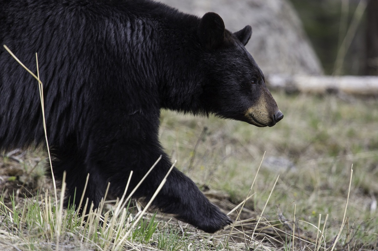 Spring Bear Season Is Approaching Farm And Dairy