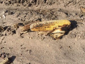burned corn in a Colorado field