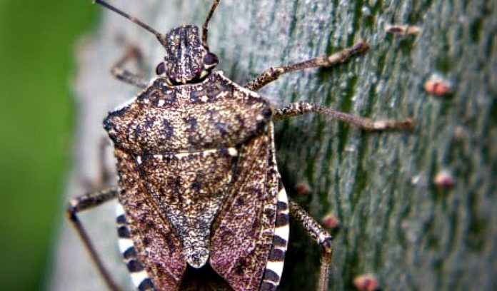 stink bug, stinkbug, Ohio, soybeans,