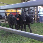 dugeon farm calves