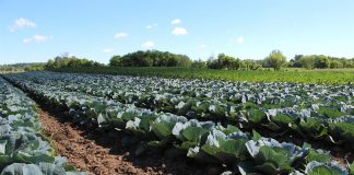 Cabbage at Artisan Acres
