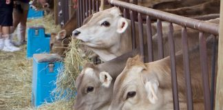 RNR Swiss Brown Swiss heifers
