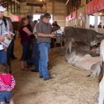Brown Swiss sale