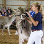 Brown Swiss heifer show