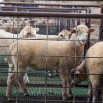 Confined sheep