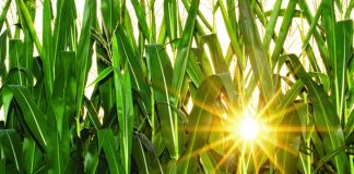 sun in corn field