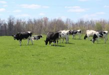 Holstein dairy cows grazing