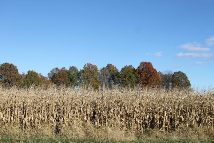 fall field of corn