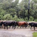 Hurricane Harvey cattle usda