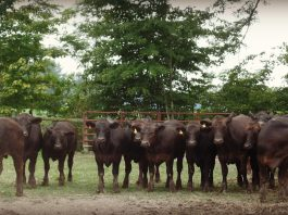 Herd of beef cattle.