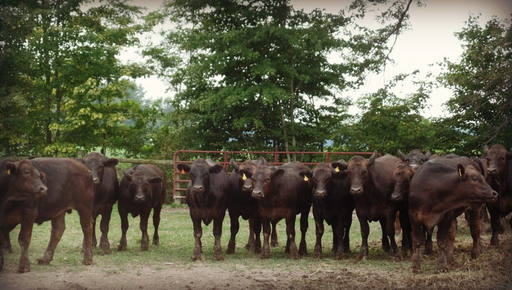 How To Select Quality Replacement Heifers Farm And Dairy