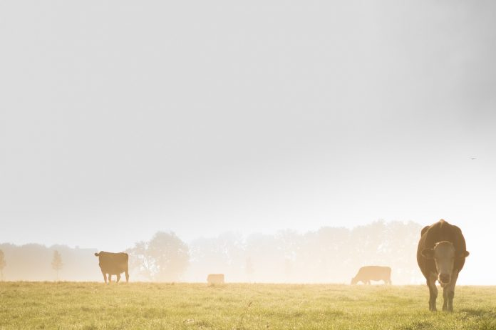 Fog and cows.