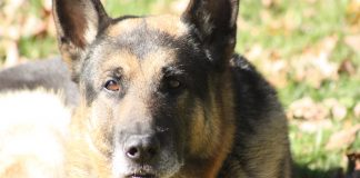 Ace, Kymberly Foster Seabolt's late German Shepherd.