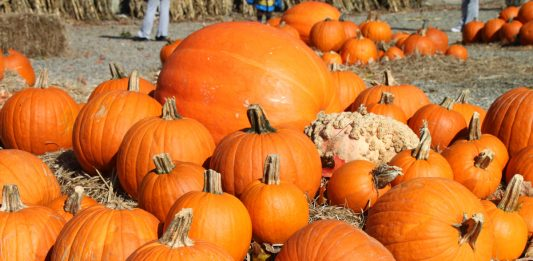 A field of pumpkins stacked in hay.