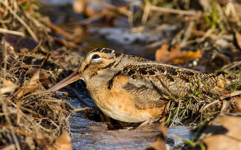 IN THE FIELD: American Woodcock - The Berkshire Edge