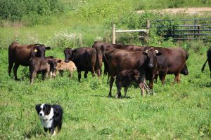 Wagyu cattle in pasture.